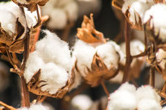 Close Up Cotton Plant. Macro of cotton plant bud capsules Royalty Free Stock Photo