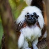 Cotton Top Tamarin. A close up of a Cotton Top Tamarin lookin out from behind some branches Royalty Free Stock Images