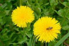 Couple of dandelion flowers with honey bee stock images