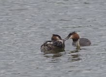 Close up couple of great crested grebe feeding their young with fish Podiceps cristatus family on clear blue lake.  royalty free stock photography