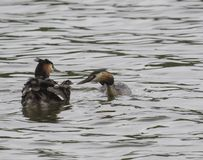 Close up couple of great crested grebe feeding their young with fish Podiceps cristatus family on clear blue lake.  stock photos