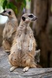 Close up of couple meerkats standing during on guard for family stock photography