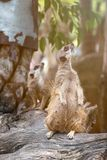 Close up of couple meerkats standing over stump royalty free stock photography