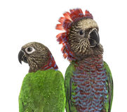 Close-up of a Couple of Red-fan parrot isolated on white Stock Image