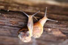 Close up of a couple of snails . Stock Photography
