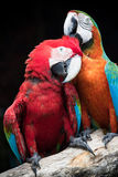 Close up couples of beautiful of scarlet macaw birds peaning and Royalty Free Stock Photo