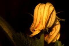 Zucchini flowers in the greenhouse. royalty free stock photo