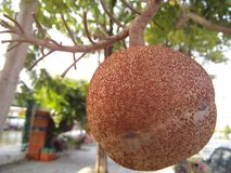 Cannonball tree fruit. stock photography