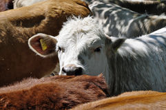 Close up of a cow Royalty Free Stock Photo