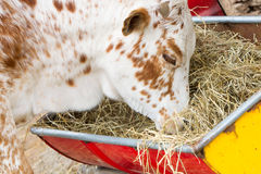 Close up of cow eating hay Stock Photo