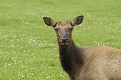 Close-up of Cow Elk Royalty Free Stock Images