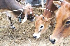 Close up of cow face,eye Stock Photos