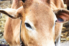 Close up of cow face,eye Royalty Free Stock Photography