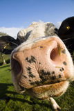 Close up of a cow in a field Stock Images