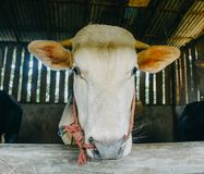 Close up cow head in cage. The cow at the farmyard is taken close to his head stock photo