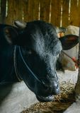 Close up cow head in cage. The cow at the farmyard is taken close to his head royalty free stock photo