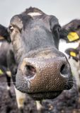 Close up Cow Stock Photo