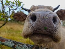 Close up cow nose. Autumn landscape. Funny animal. stock images