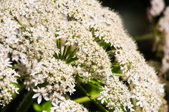 Close up of cow parsnip. Flowers of the cow parsnip plant stock photography