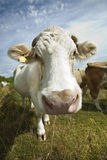 Close-up of cow in pasture against blue sky Royalty Free Stock Photography