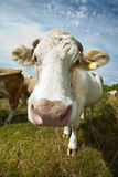 Close-up of cow in pasture against blue sky Stock Image