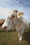 Close-up of cow in pasture against blue sky Royalty Free Stock Image