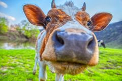 Close up cow portrait. Curious cow looking close in photo camera stock image