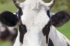 Close-up cow portrait Royalty Free Stock Photo