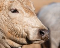 Close up of cow profile. Close up of the face of a blond beef cow in profile stock photography