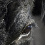 Close up of cow's eye Royalty Free Stock Image