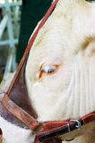 A close up of a cow's head. Royalty Free Stock Image