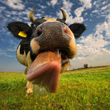 A close up of a cow's head. The cow is sticking out its tongue. Royalty Free Stock Image