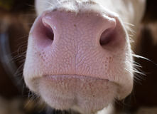 Close up of cow`s muzzle Royalty Free Stock Image