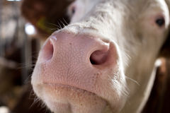 Close up of cow`s muzzle Royalty Free Stock Images