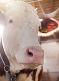 Close up of cow`s muzzle Royalty Free Stock Photo