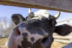 Close up of a cow& x27;s nose. Rural landscape. Close up of a cow& x27;s nose cattle agriculture farm farming head snout cute livestock natural nature rural barn royalty free stock photo