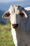 Close-up of cow Royalty Free Stock Photo