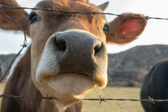 Close up of cow snout. Through barbed wire fence looking at camera Stock Image