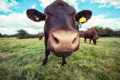 Close up of a cow standing in a field Royalty Free Stock Images