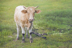 Close up a cow standing on a green grass field with blurred foreground and background,filtered image,selective focus
