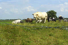 Close-up of cows enclosed in a field in Holland Stock Image