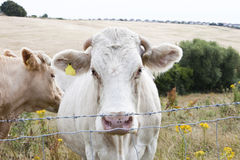 Close-up of cows in pasture against blue sky Royalty Free Stock Image