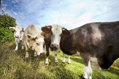 Close-up of cows in pasture against blue sky Stock Image