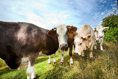 Close-up of cows in pasture against blue sky Stock Photos