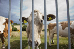 Close-up of cows in pen  against blue sky Royalty Free Stock Photos
