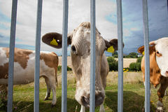 Close-up of cows in pen  against blue sky Royalty Free Stock Photography