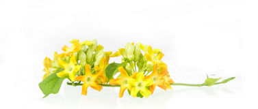 Close up of cowslip Creeper - edible flower Royalty Free Stock Photography