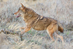 Close-up of coyote running Stock Photo