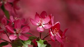 Crab apple tree blooming in spring. Close-up of a crab apple tree, Malus sylvestris, blooming in spring royalty free stock image