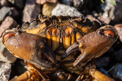 Close up on a crab with big claws Royalty Free Stock Image